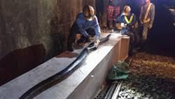 5米巨蟒遭火車輾斃斷成2截 留下「驚人身形」
