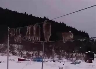 影》日本猴子雪地中成群「走鋼索」原來是為了...