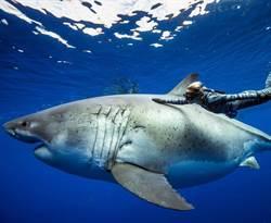最大6公尺白鯊驚現夏威夷!大口啃食鯨魚屍