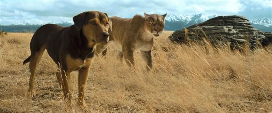 山獅在狗眼中成了大貓咪。(双喜電影提供)