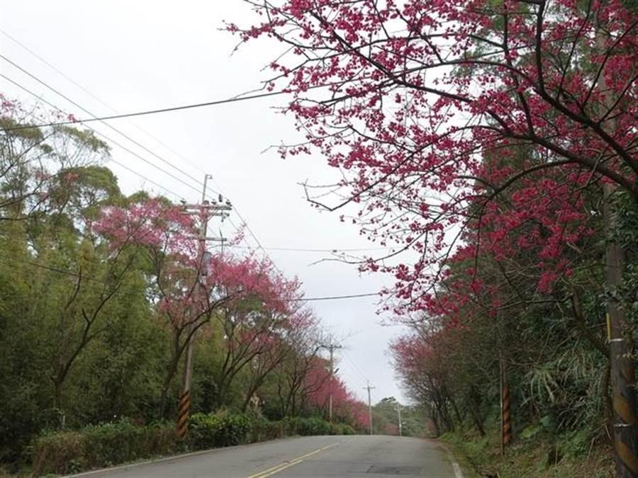 107年三芝青山路花开美景。(新北市景观处提供)