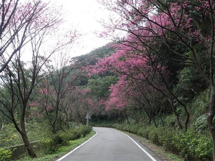 107年三芝青山路樱花小径。(新北市景观处提供)
