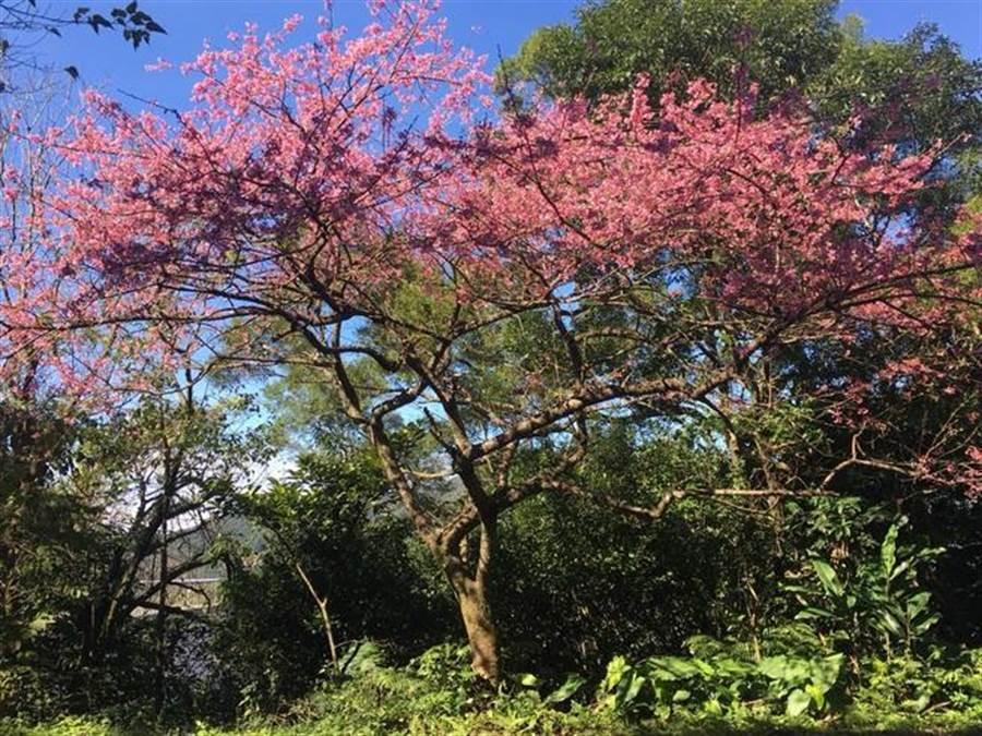 107年石碇花开美景。(新北市景观处提供)