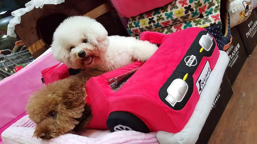 小轉(右)雖是繁殖犬退役的高齡比熊犬,但卻非常貼心,現與阿Q都是小吳的開心果老玩伴。(陳育賢攝)