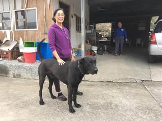 巨犬「大頭仔」護衛蓮華池香菇寮園區