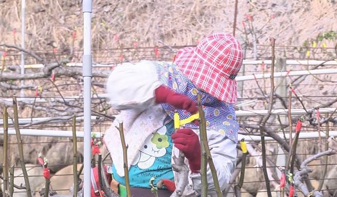 栽培高接梨非常費工,果農日前爬上樹梢,一一嫁接黃金梨梨穗。(王文吉攝)