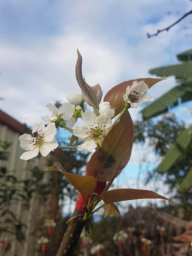 部分黃金梨穗已綻放潔白花朵,果農期盼順利授粉結果,預計今年7月採收上市。(王文吉攝)