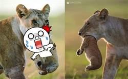 母獅活吞幼獅頭照嚇壞人 攝影師還原母愛真相