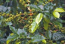 減肥新寵 綠咖啡萃取物 須加警語