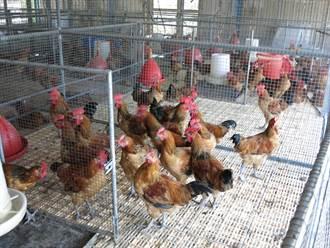 拓展飼料原料來源  米飼雞讓雞肉更軟嫩