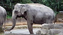 「老少配」夫妻!「林旺」與「馬蘭」重現動物園象特展