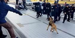 警犬呲牙咧嘴狂吠 搶匪投降 警方防搶演練超逼真