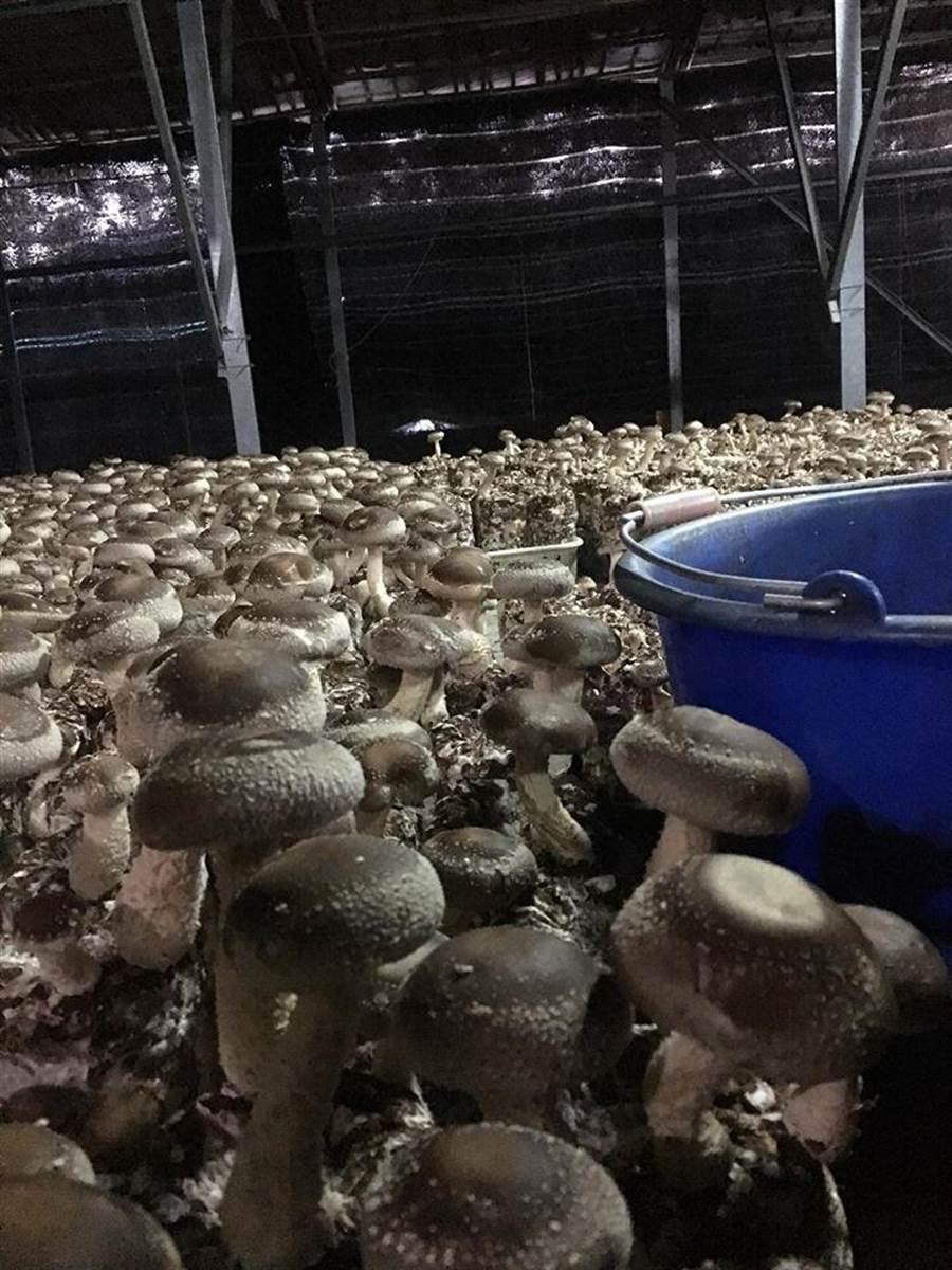 圖為原PO家香菇園的香菇。(圖/翻攝自臉書《爆廢公社》)