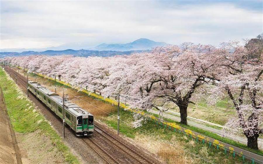 日本仙台搭火車賞櫻花。(達志影像/shutterstock提供)