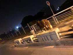 影》韓市長的賽馬場來了? 高雄愛河畔驚見馬兒狂奔
