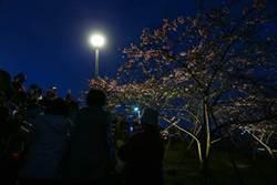 圖輯》樂活夜櫻季今點燈嗨爆 花季22天快來賞櫻花