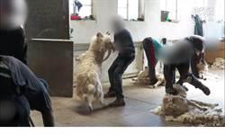 漂亮毛衣這樣來的!4萬隻羊被殘忍剃毛 血腥真相曝光