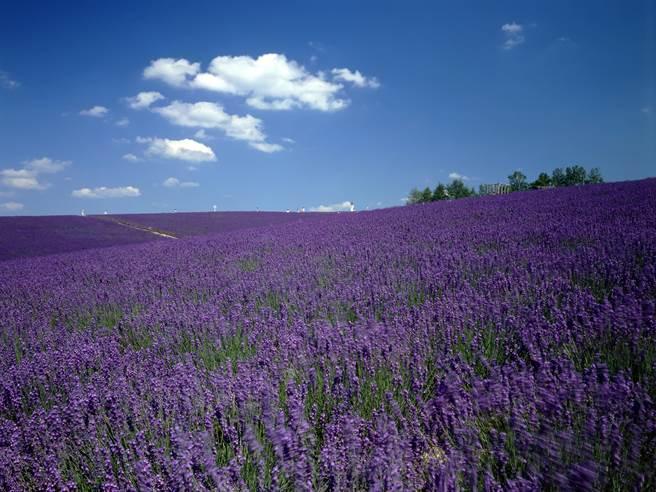 北海道「富田農場」以大面積浪漫紫色薰衣草花田聞名/旅行酒吧提供