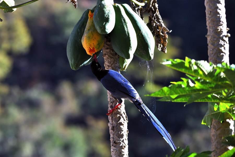 南橫公路天龍飯店旁的木瓜樹上,台灣藍鵲大口吃木瓜。(莊哲權攝)