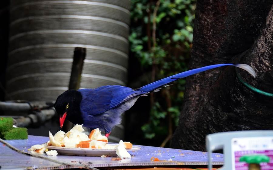 小吃店的蔡媽媽都會準備食物,讓台灣藍鵲飽餐一頓。(莊哲權攝)