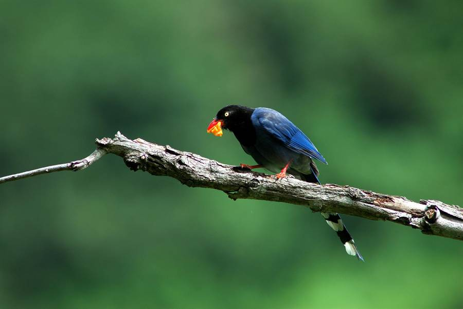 台灣藍鵲咬著滿口木瓜的模樣,讓遊客覺得很療癒。(莊哲權攝)