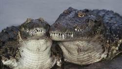 鱷魚夫妻生不出娃 竟是因為公鱷「這裡」太小
