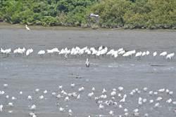 學甲溼地生態園區鳥況豐 保育類鳥種頻現身