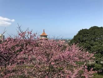 淡水天元宮櫻花盛開 賞櫻交通管制看這裡