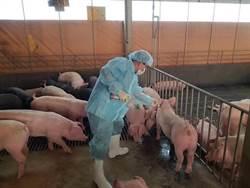 非洲豬瘟疑雲!? 社子島迎星碼頭發現豬隻浮屍急剖檢採樣