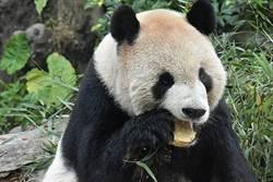 春節來動物園看萌萌豬!貓熊家族初一「上班」吃大餐
