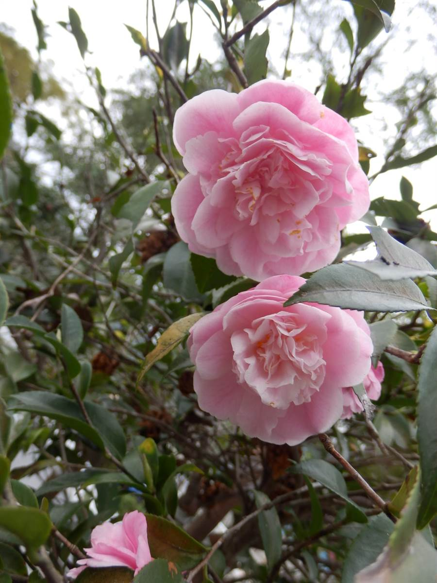 每年的農曆春節正是茶花盛開的時刻,新北市坪林茶業博物館園區內數十株茶花也在此時優雅綻放,爭奇鬥艷。(葉書宏翻攝)