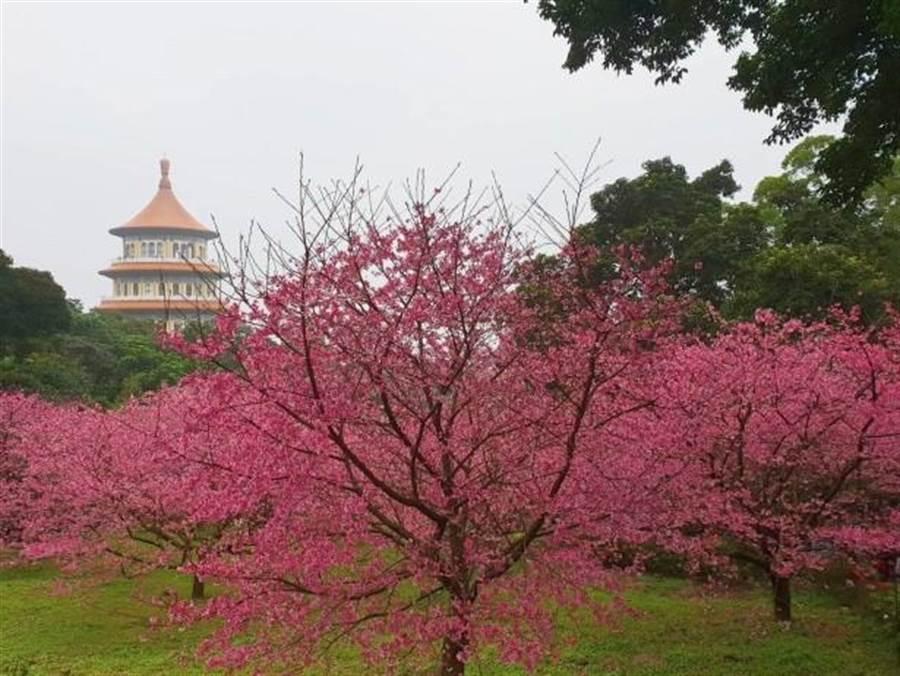 淡水天元宮三色櫻花幾乎全開。(照片/游定剛 拍攝)