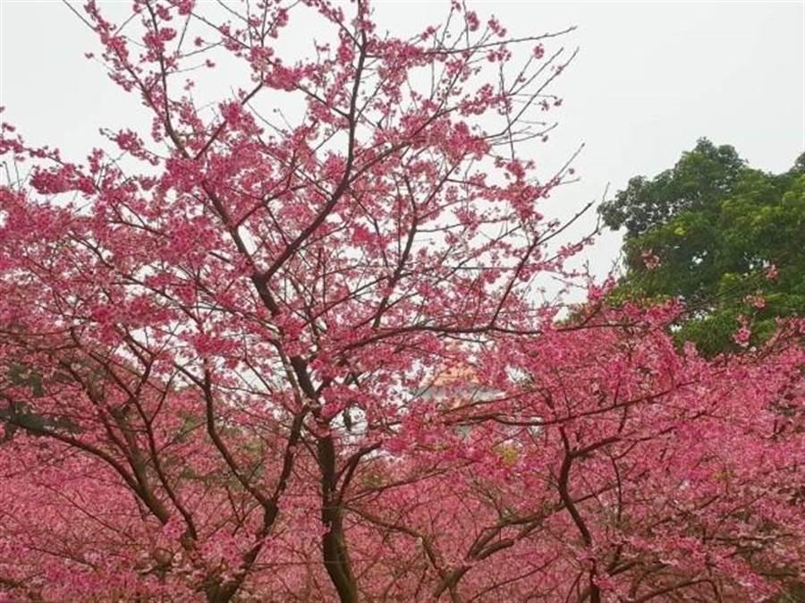 淡水天元宮三色櫻枝頭綻放,粉色浪漫指數破表。(照片/游定剛 拍攝)
