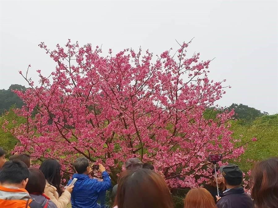 天元宮三色櫻花盛開,吸引不少民眾前來拍照。(照片/游定剛 拍攝)