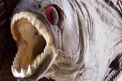 食人魚無法稱霸亞馬遜 這個天敵太強大