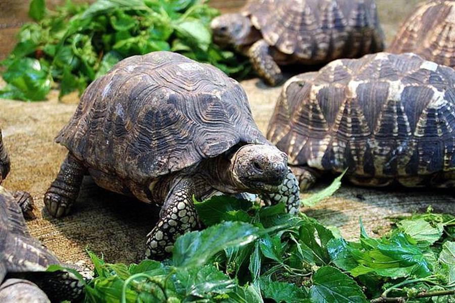 過年連假記得來動物園拜訪我們唷!(緬甸星龜)。(台北市立動物園提供)