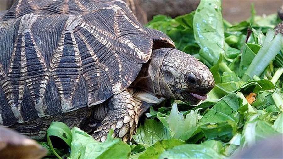 新鮮的菜葉最好吃啦!(緬甸星龜)。(台北市立動物園提供)