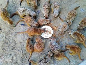 萌!李安電影曾亮相!狐獴「圍爐」搶吃麵包蟲大餐