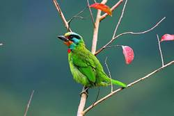 超萌「五色鳥」展翅高飛!新北8處賞鳥景點報你知