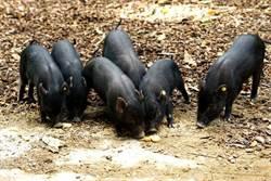 圖輯》初五開工大吉!超萌蘭嶼豬排排站「上學趣」