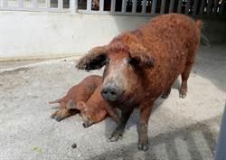 豬年到 頑皮世界可愛綿羊豬人氣夯