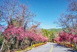 粉紅台8線 中橫櫻花盛開