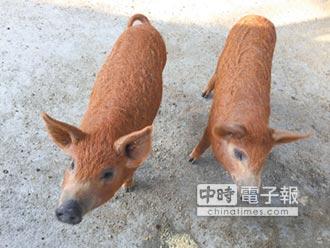 頑皮世界綿羊豬 偕豬寶寶見客