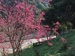 賞櫻秘境!中和烘爐地櫻花盛開