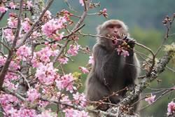 武陵賞櫻遇潑猴 雪霸國家公園管理處教防猴秘訣