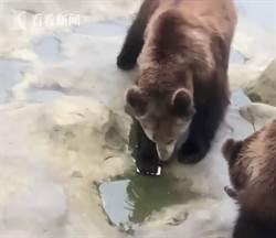 影》男子請棕熊吃蘋果 連蘋果手機都一起餵