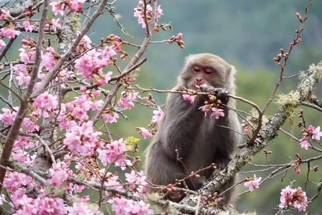 武陵農場粉絲頁發布「猴訊」,並分享雪霸警察小隊張姓警員拍下「猴版花癡」照,獼猴忘我掰花瓣止飢畫面令人莞爾。(王文吉翻攝)