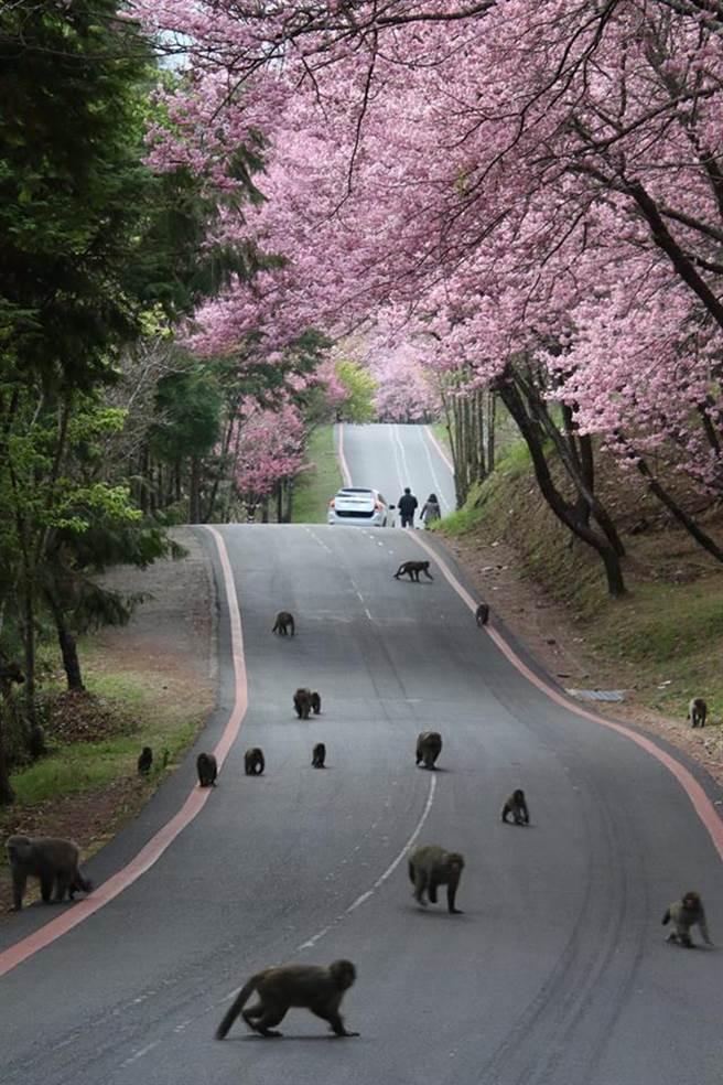 武陵農場波浪大道清晨出現大批猴群,近20隻獼猴「霸道」,讓開車遊客不敢前進。(讀者蘇益川提供)