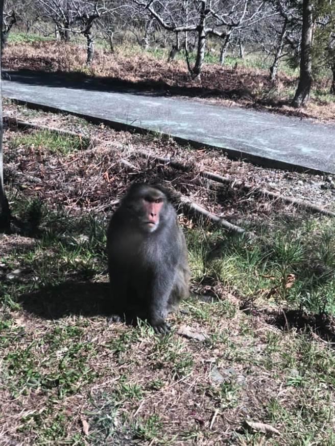 網友貢獻在武陵農場捕捉到的「厭世臉」獼猴照片,有人留言表示「有周董的感覺」。(王文吉翻攝)