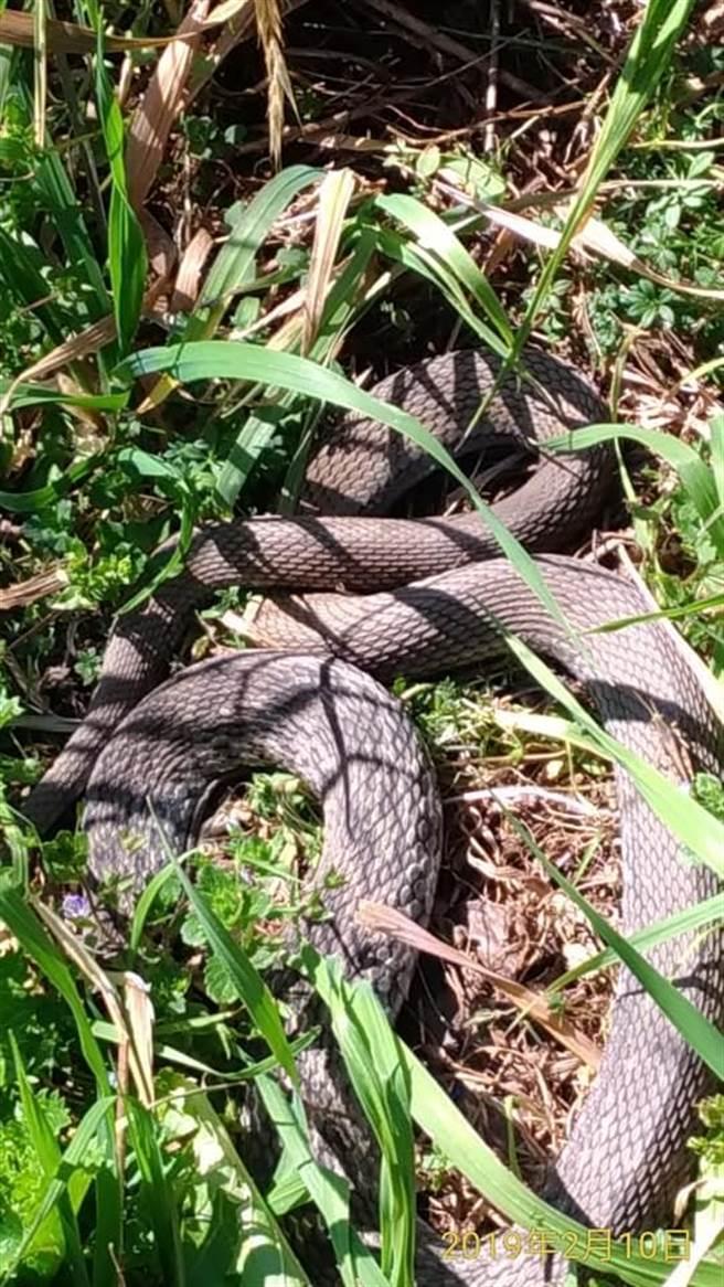 武陵農場提醒近日在桃子園發現蛇蹤,呼籲遊客不要進入拍照。(王文吉翻攝)